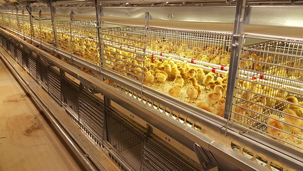 Цыплята в клетках